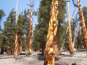 Foxtail Pines on Guyot Flat